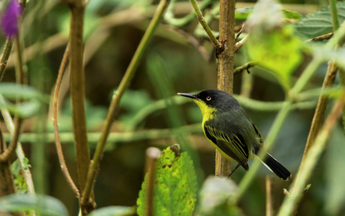 Common Tody-Flycatcher by Hugo Santa Cruz - La Paz Group