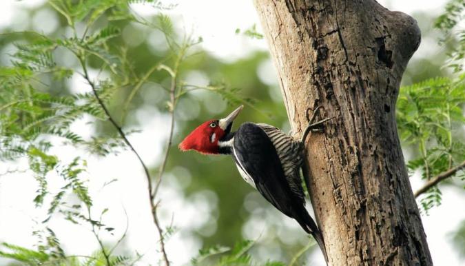 Crimson-crested Woodpecker by Hugo Santa Cruz - La Paz Group