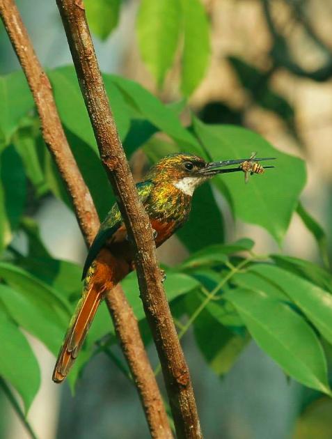 Rufous-tailed Jacamar by Hugo Santa Cruz - La Paz Group