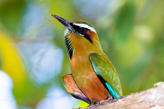 Turquoise-browed Motmot by Leander Khil - La Paz Group