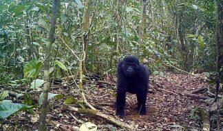 Ebo-gorilla-SDZG_web