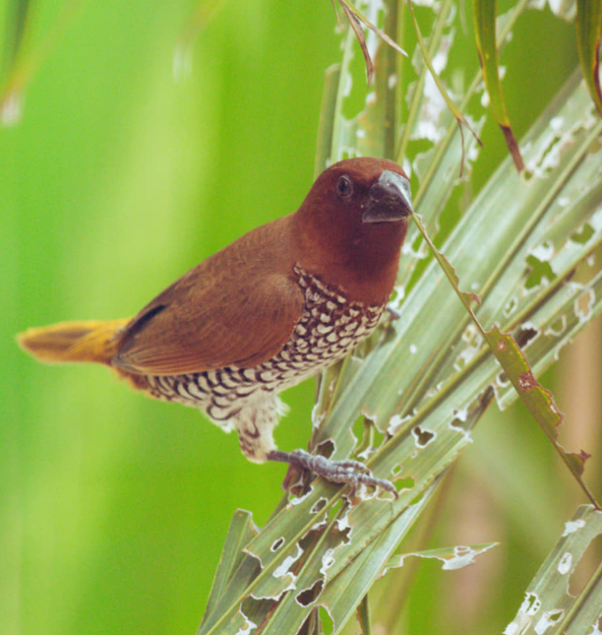 Spotted Munia by Vijaykumar Thondaman - Organikos