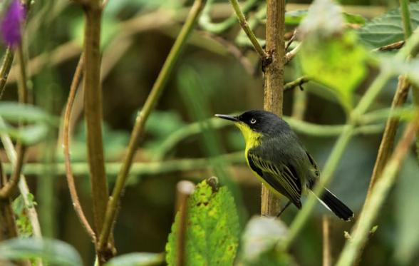 Common Tody-flycatcher by Hugo Santa Cruz - Organikos