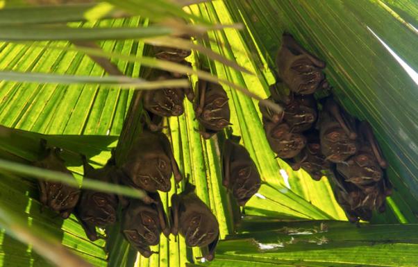 Common Tent-making Bat by Hugo Santa Cruz - Organikos