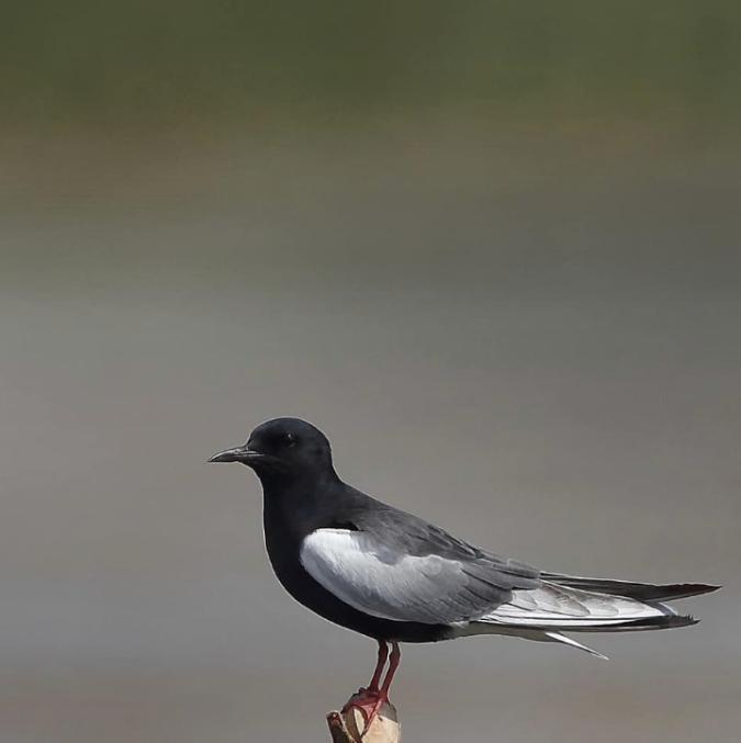 White-winged Tern by Gururaj Moorchang - Organikos