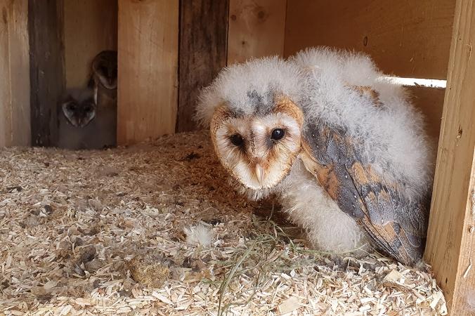 Barn Owl by Leander Khil - Organikos