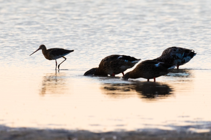 Black-tailed Godwit and Mallards by Leander Khil - Organikos