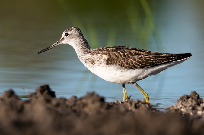 Common Greenshank by Leander Khil - Organikos