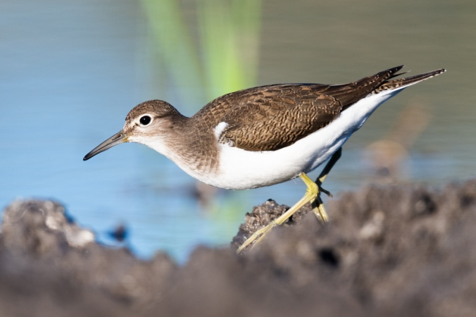 Common Sandpiper by Leander Khil - Organikos