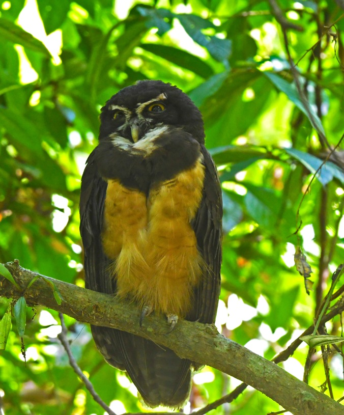 Spectacled owl by Puneet Dhar - Organikos