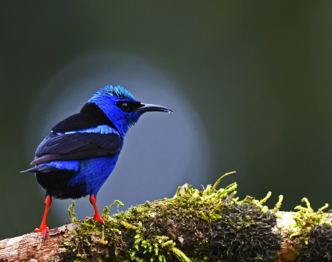 Red-legged Honeycreeper by Puneet Dhar - Organiko