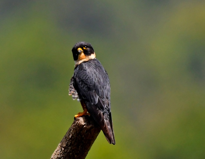 Bat Falcon by Puneet Dhar - Organikos