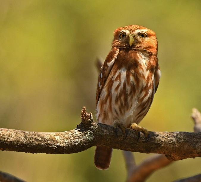 Ferruginous Pygmy Owl by Puneet Dhar - Organikos