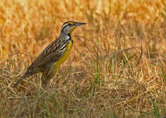 Eastern Meadowlark by Puneet Dhar - Organikos