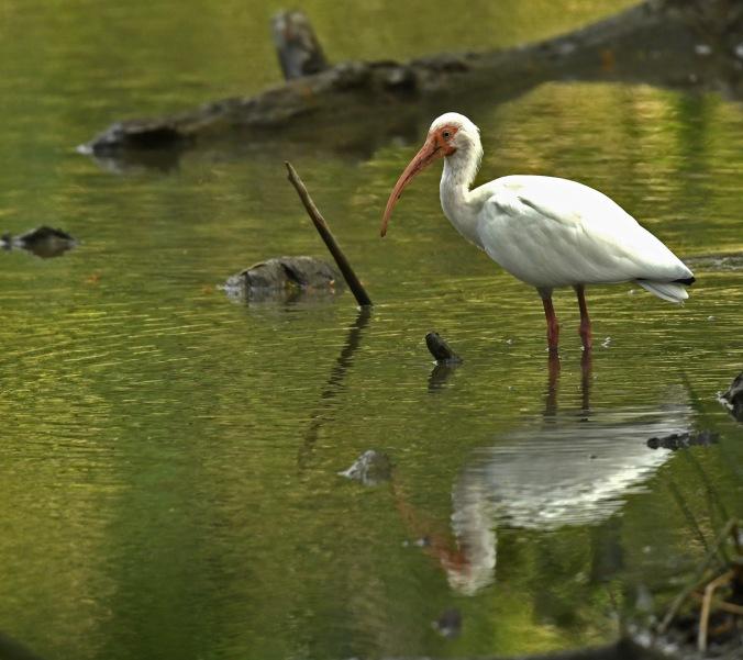 White Ibis by Puneet Dhar - Organikos