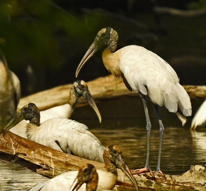 Wood Stork by Puneet Dhar - Organikos