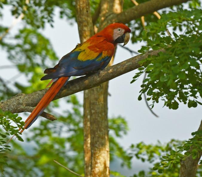 Scarlet Macaw by Puneet Dhar - Organikos