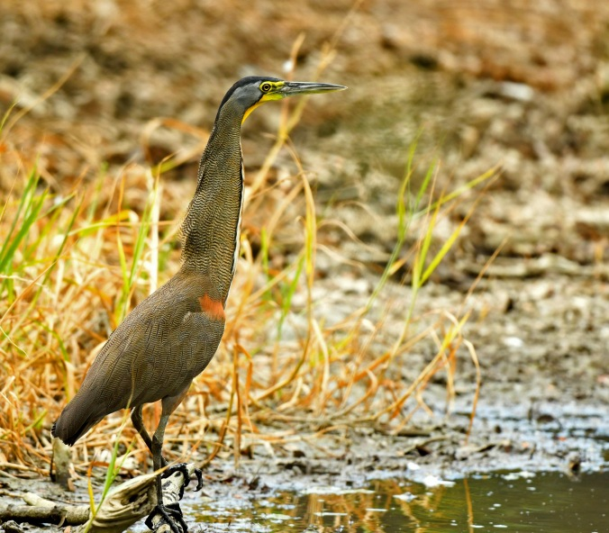 Bare-throated Tiger-Heron by Puneet Dhar - Organikos