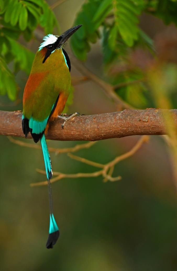 Turquoise-browed Motmot by Puneet Dhar - Organikos