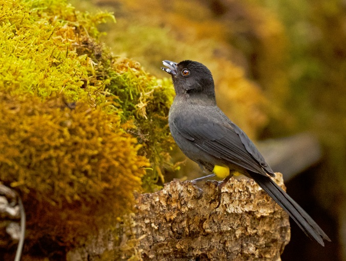 Yellow-thighed Brushfinch by Puneet Dhar - Organikos