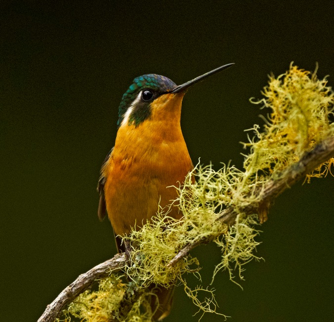 White-throated Mountain-gem by Puneet Dhar - Organikos