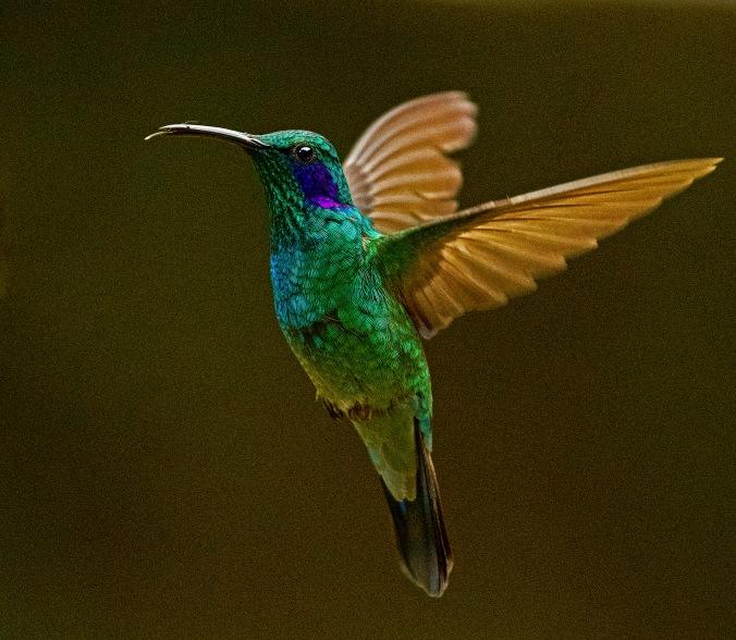 Lesser Violetear by Puneet Dhar - Organikos