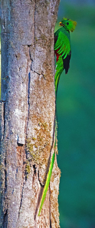 Resplendent Quetzal by Puneet Dhar - Organikos