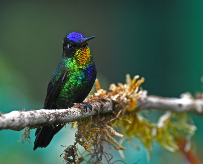 Fiery-throated Hummingbird by Puneet Dhar - Organikos