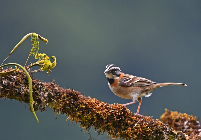 Rufous-collared Sparrow by Puneet Dhar - Organikos