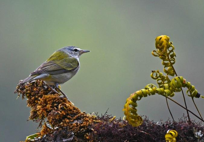 Tennessee Warbler by Puneet Dhar - Organikos