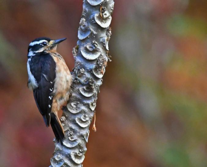 Hairy Woodpecker by Puneet Dhar - Organikos