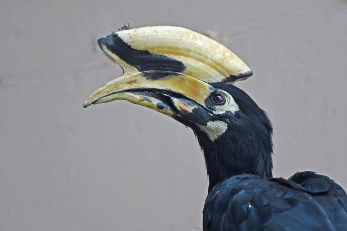 Oriental-pied Hornbill by Puneet Dhar - Organikos