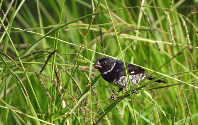 Variable Seedeater by Hugo Santa Cruz - Organikos