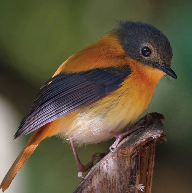 Black and Orange Flycatcher by Gururaj Moorching - Organikos