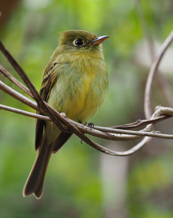 Yellowish Flycatcher by Daniel Aldana - Organikos