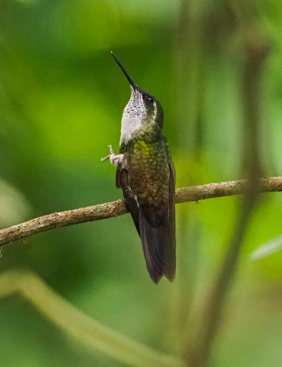 Green-throated Mountain-Gem by Daniel Aldana - Organikos