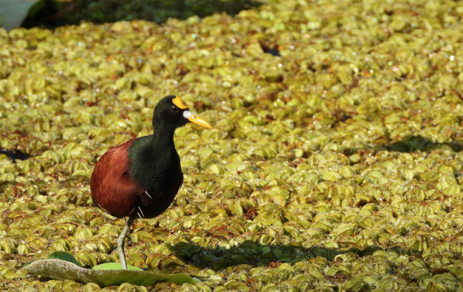 Northern Jacana by Hugo Santa Cruz - Organikos