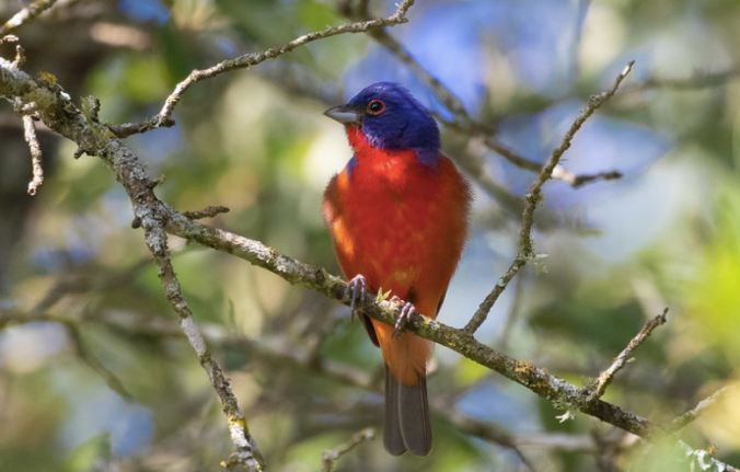 Painted Bunting by Rich Kostecke - Organikos
