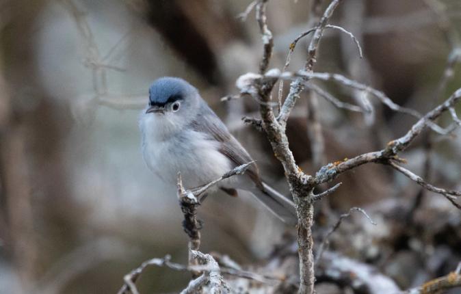 Blue-gray Gnatcatcher by Rich Kostecke - Organikos