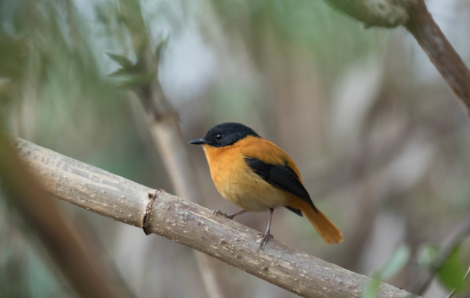 Black-and-rufous Flycatcher by Rich Kostecke - Organikos