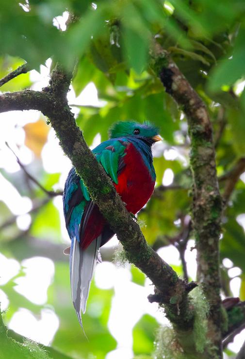 Resplendent Quetzal by Rich Kostecke - Organikos