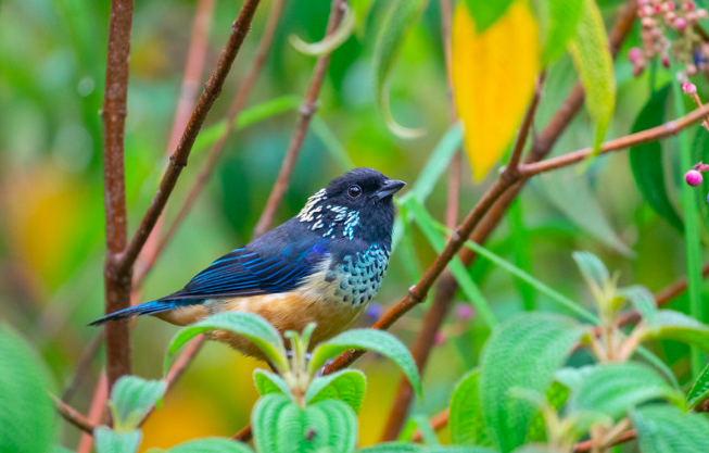 Spangle-cheeked Tanager by Rich Kostecke - Organikos