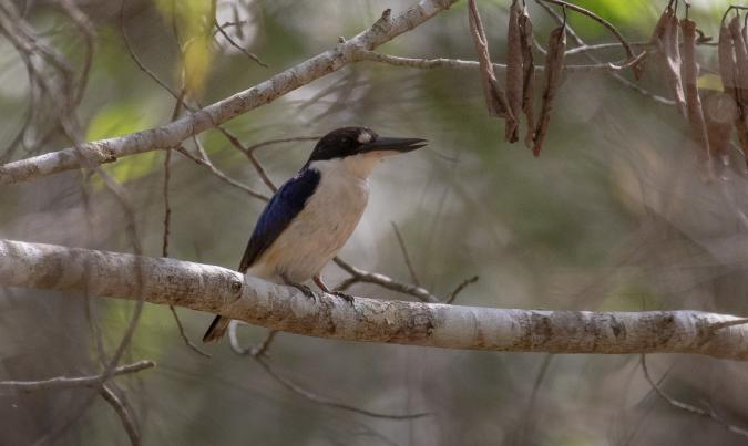 Forest Kingfisher by Rich Kostecke - Organikos