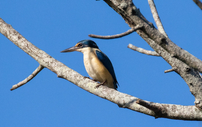 Sacred Kingfisher by Rich Kostecke - Organikos