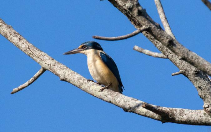 Sacred Kingfisher by Rich Kostecke - Organikos