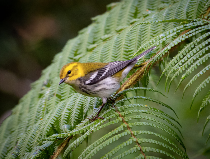 Black-throated Green Warbler by Daniel Aldana - Organikos
