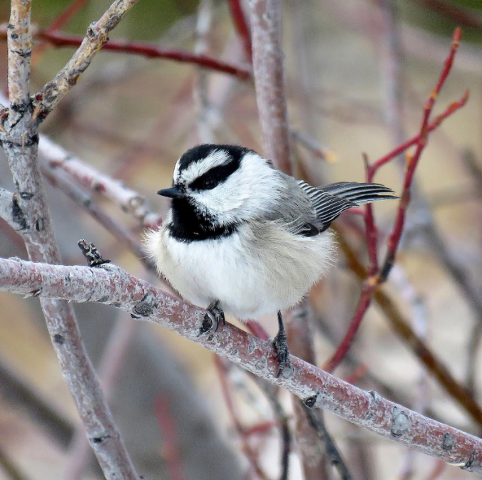 Mountain Chickadee by Seth Inman - Organikos