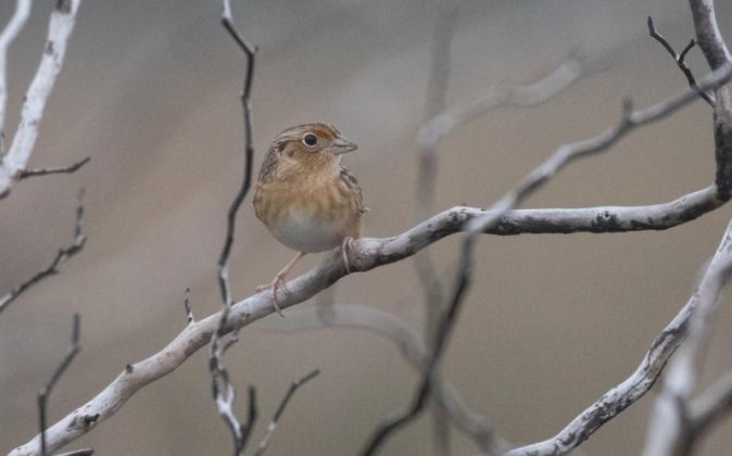 Grasshopper Sparrow by Richard Kostecke - Organikos