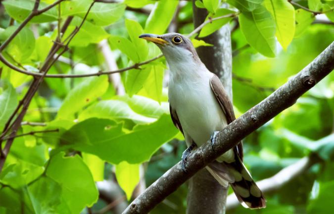 Yellow-billed Cuckoo by Hugo Santa Cruz - Organikos