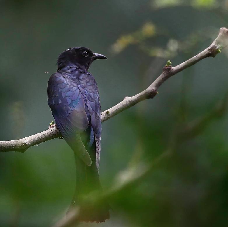 Square-tailed Drongo-Cuckoo by Gururaj Moorching - Organikos